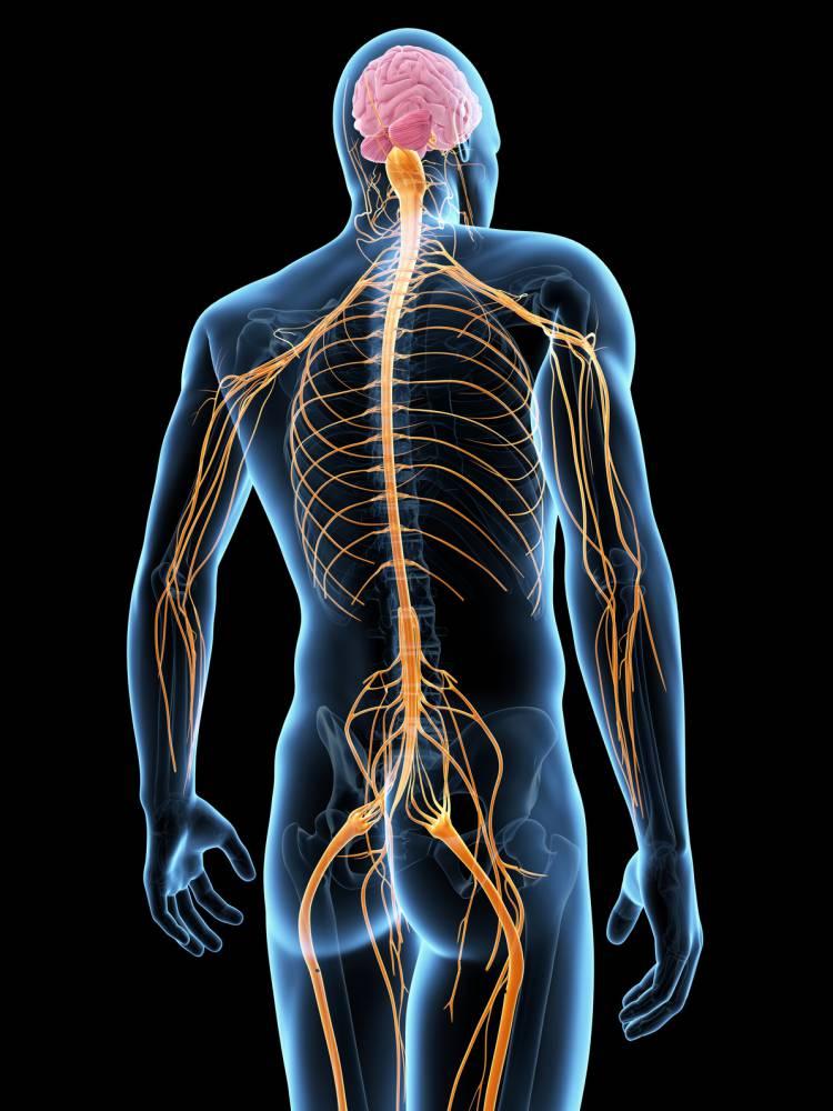Im Bereich der Halswirbelsäule treten mehrere Nerven aus dem Rückenmark aus. Foto: (c) Sebastian Kaulitzki - fotolia.com